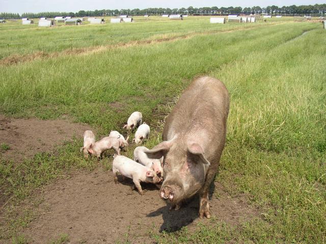 Paillasson le cochon - L\'élevage en plein air
